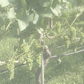 Screaming Eagle Cabernet Sauvignon 1999