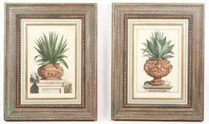 Pair of A Munting Engravings Aloe in Terra Cotta