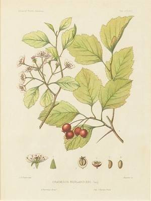 Eight HandColored Botanical Engravings of North American Sylva