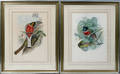 031113 HAND COLORED GOULD BIRD PRINTS H 195 X W 13