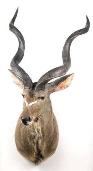 African Greater Kudu Trophy Shoulder Mount