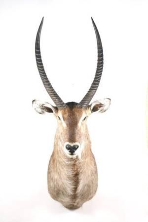 African Waterbuck Trophy Shoulder Mount