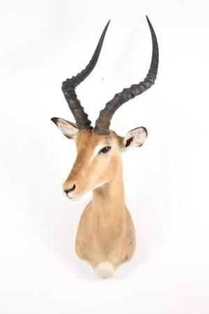 African Impala Trophy Shoulder Mount