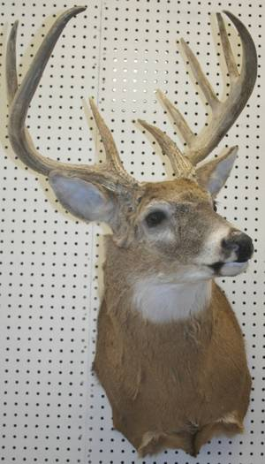 070171 NORTH AMERICAN WHITE TAIL DEER MOUNT H 36