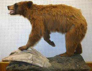 070170 NORTH AMERICAN BROWN BEAR FULL BODY MOUNT