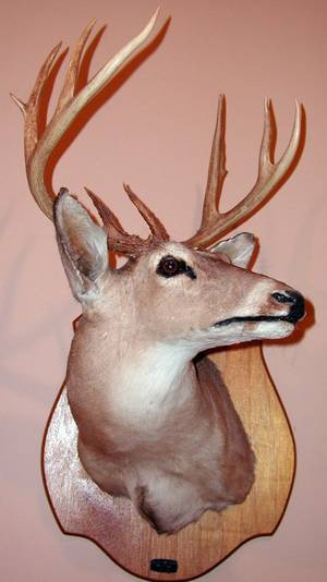 040157 WHITE TAIL DEER SHOULDER MOUNT 9 POINT BUCK