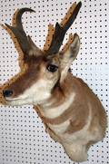 020511 PRONGHORN ANTELOPE HEAD MOUNT H 32