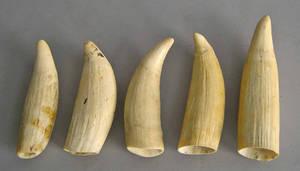 Five whale teeth