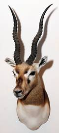 SOUTH AFRICAN BLACKBUCK OR INDIAN ANTELOPE MOUNT