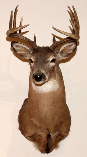 NORTHEASTERN WHITE TAILED DEER TROPHY MOUNT