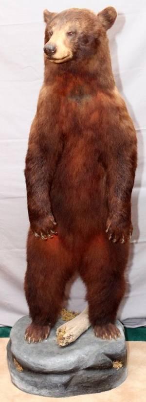 AMERICAN BLACK BEAR FULL BODY TROPHY MOUNT