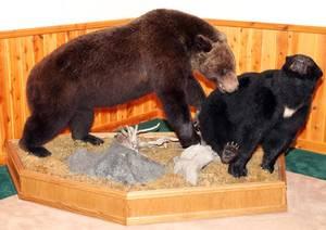 AMERICAN BLACK BEAR  GRIZZLY BEAR FULL BODY MOUNTS