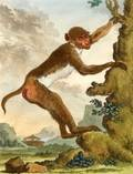 Six Framed French Hand Tinted Engravings of Primates