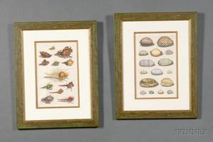 Group of Four Decorative Handcolored ConchologicalShell Engravings