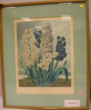 Dr Thornton HandColored Etching of Hyacinths and Two Botanical Watercolors