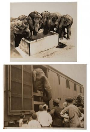 Group of Eight Vintage Elephant Photographs A