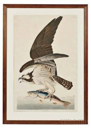 Audubon John James 17851851 Fish Hawk Plate 81