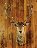 European red stag mount taken in Austria