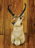 Wyoming antelope mount