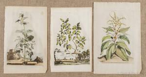 Thirteen early botanical engravings