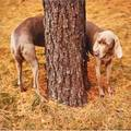 William wegman american b 1943 pine bender 1997 cprint signed dated titled and numbered 3050 14 x 11 provenance private collection new york