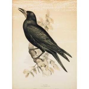 Charles joseph hullmandel british 17891850 three handcolored engravings of birds rook snowy grannet and black gull each framed 18 x 22 and 22 x 18