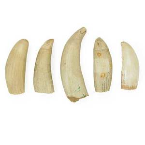 Whale teeth five late 19thearly 20th c longest 6 34