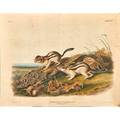 After john woodhouse audubon american 18121862 two lithographs in colors felis pardalis linn ocelot or leopardcat 1846 spermophilus lateralis say says marmot squirrel 1847 plate
