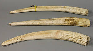 335 Collection of Three Ivory Walrus Tusks
