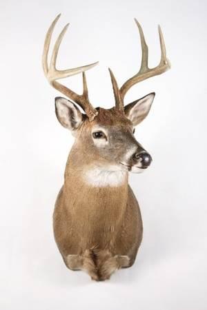 White Tailed Deer Shoulder Mount