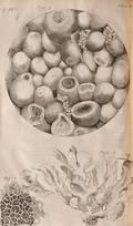 Hooke Robert 16351703 Micrographia